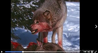 NOAH og WWF raser mot Senterpartiets ulvevideo: «Alternative fakta» og «propaganda av verste sort»